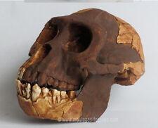 MOULAGE FOSSILE crane Ardipithecus ramidus fossil skull replica reproduction