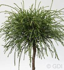 Hochstamm Faden Lebensbaum Whipcord 100-125cm - Thuja plicata