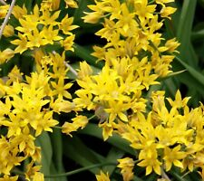 50 Allium Moly Golden Garlic Flower Bulbs~Great BARGAIN