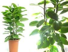 Ficus altissima: Entwickelt besonders schöne Blätter !