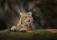 A1 | Lynx Cat Poster Art Print 60 x 90cm 180gsm Wild Animal America Gift #12595