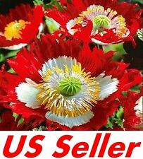 Poppy Seeds - Danish Flag Seeds G75, 500 Seeds PERENNIAL GROUND COVER