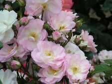 PERENNIAL BLUSH - 5.5lt Potted Repeat Rambling Garden Rose - Pink, Fragrant