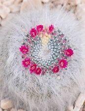 REAL FRESH Mammillaria Hahniana 20 seeds Samen Korn Semi 種子 씨앗 Семена