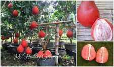 """SEEDS – EXTREMELY RARE Dwarf """"Sweet Ruby"""" Red Pomelo Fruit Seeds for Containers!"""