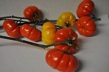 Mini Pumpkin Tree Solanum integrifolium SEED Cut flower display for fall 100ea