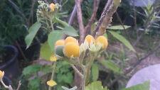 Dwarf tamarillo Cyphomandra abutiloides 20 fresh seeds EDIBLE