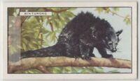 Himilayan Binturong Bearcat South East Asian  c80 Y/O Trade Ad Card