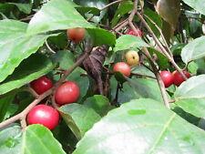 Flacourtia jangomas, Gouverneurs-Pflaume, Governor's Plum, 10 Samen, 10 seeds