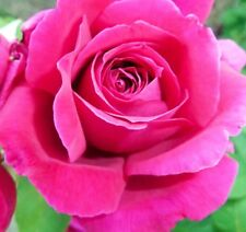 Rose Pure Absolute Essential Oil - 10 ML + Free Carrier oil 2 ml