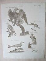 Vintage Engraving,WHITE-HEADED EAGLE, HAWKS, Iceland FALCON,C.1800,FALCO