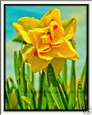 """PICTURE 8x10"""" MATTED TO 11x14"""" PHOTO PRINT WALL ART HOME DECOR DAFFODIL FLOWER"""