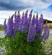 """1x Russell Lupin - 3"""" tube plant in PURPLE flower, established plant"""