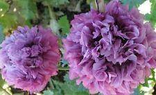 Giant poppy! upto 4ft tall! Purple Peony poppy! fresh viable seeds, Wildlife