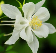 50 White Columbine Seeds Aquilegia Vulgaris Garden Flowers