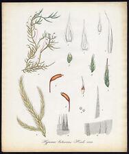 Antique Print-YELLOW FEATHER MOSS-HOMALOTHECIUM LUTESCENS-1069-Flora Batava-1800