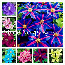 100pc Exotic Clematis Seeds Plants Bonsai Flower Blooming Vines & Indoor