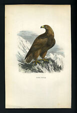 L'AIGLE ROYAL RAPACE gravure estampe originale aquarellée du 19eme