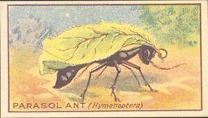 Maynards - Strange Insects - 7 - Parasol Ant