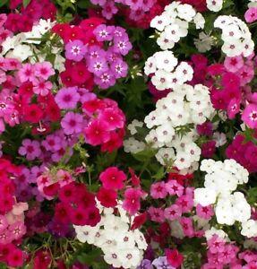Wild Garden Seeds. Phlox Drummondii Dwarf Mix. INC FREE SEED OFFER - see desc