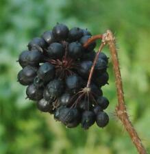 250 seeds Eleutherococcus senticosus, Siberian ginseng, eleuthero or ciwujia