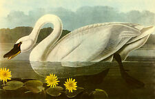 John James Audubon  Whistling Swan 22x30 Art Print Hand Numbered Ltd. Edition