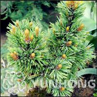 Juniper Pinus Densiflora 50 Pcs Seeds Bonsai Potted Pine Tree Home Garden NEW N