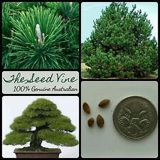 50+ JAPANESE BLACK PINE SEEDS (Pinus thunbergii) Thunderhead Evergreen Bonsai