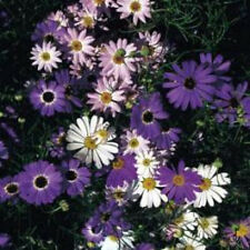 Swan River Daisy Seed Mix 3 Colours Perennial Lovely in Rockeries Easy Growing