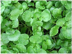 Watercress salad Seeds (4000 Approx seeds) water cress / Cress water herb seeds