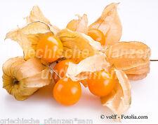 Andenbeere * vitaminreich Frucht * 25 Samen MEHRJAHRIG*Kapstachelbeere Geschenk