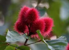 100 ANNATTO TREE Lipstick Plant Evergreen Flower Seeds