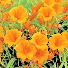 25 STELLA DE ORO DAYLILY SEEDS - common orange color
