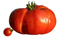 Organic BEEFSTEAK TOMATO 40+seeds EXTREAMELY LARGE NON-GMO Heirloom