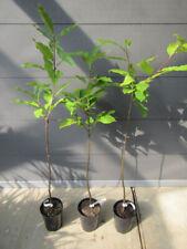 Esskastanie - Marone - Castanea sativa - Winterharte Pflanze 60-80cm