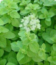 SWEET MARJORAM-300 Seeds (Majorana hortensis) CULINARY & MEDICINAL Use-Non GMO