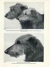 SCOTTISH DEERHOUND HEAD STUDIES OF NAMED DOGS OLD ORIGINAL 1934 DOG PRINT PAGE