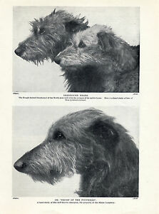SCOTTISH DEERHOUND HEAD STUDIES OF NAMED DOGS OLD ORIGINAL 1934 DOG PRINT PAGE