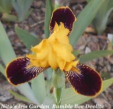 """Bumblebee Deelite"" Cute & Flashy Miniature Tall Bearded Iris Rhizomes (1)"