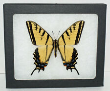 Real Framed Butterfly Papilio Multicaudata in Riker Mount-Two Tailed Swallowtail