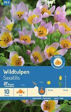 Wildtulpen Saxatilis 72816 Herbstblumenzwiebeln Blumen Blumenzwiebel