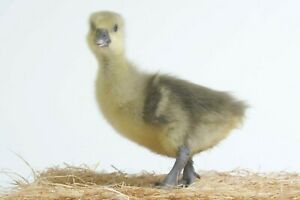 FRENCH TOULOUSE GOOSE FERTILE HATCHING  EGG - ONE