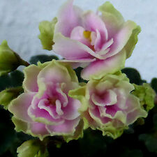 Petite Blarney Pflanze/plant Usambaraveilchen African Violet