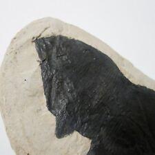 Fossil Fish Amblypterus Cast Replica