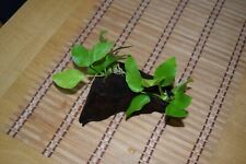 Bogwood Set with Anubias barteri var. nana 'Gold' (Hardy Aquatic Plant) - {2}