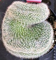"""Mammillaria Pilcayensis Cristata, Comes in a 3.5"""" pot"""