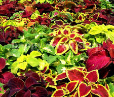 COLEUS HYBRIDUS - RAINBOW MIX - 700 SEEDS - IMPROVED VARIETY - EXOTIC SEEDS