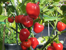 RARE Red Habanero Chili Pepper - Extreme Yields & Very Hot Variety - 10 Seeds