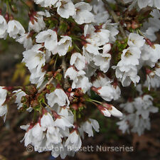 Prunus Autumnalis  Winter Flowering Cherry Tree 12 litre Pot