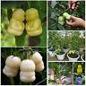 10 Piezas Semillas Raras Bebé Ginseng Fruta árboles Peras Rare Baby Fruit Seeds